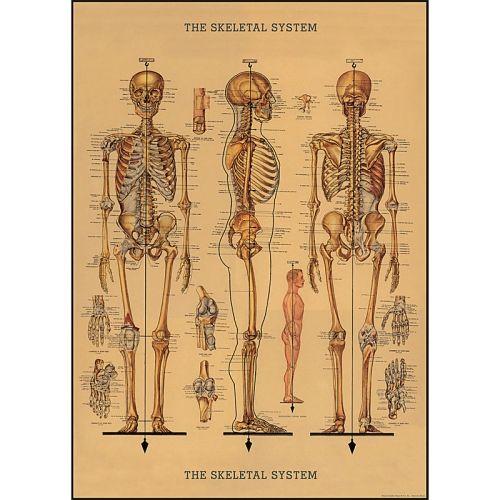 Poster - Skelett