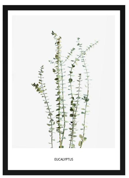 Poster - Eucalyptus
